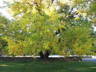 Mulberry tree early fall